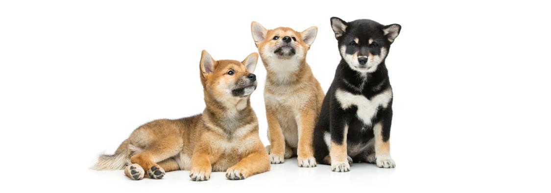柴犬のペット保険