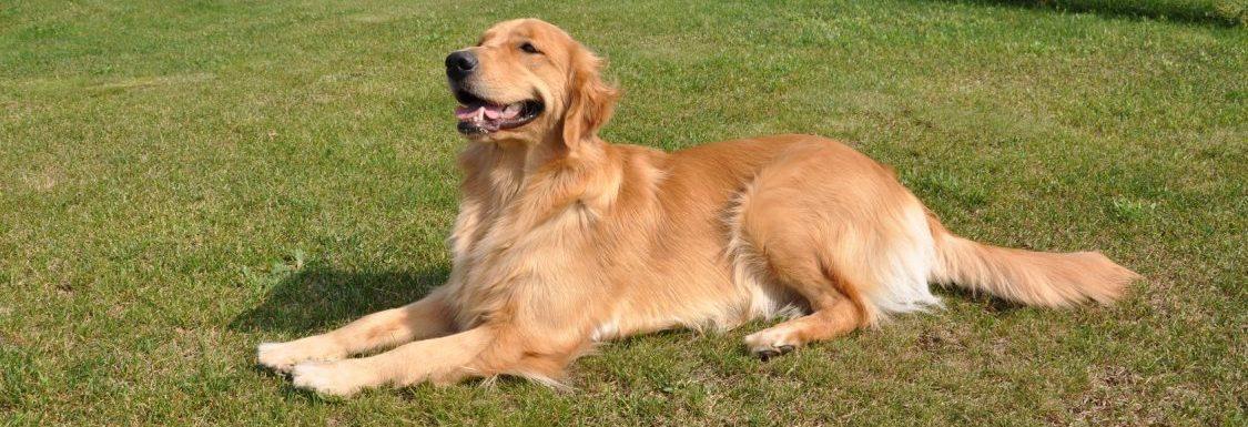 ゴールデンレトリーバーのペット保険