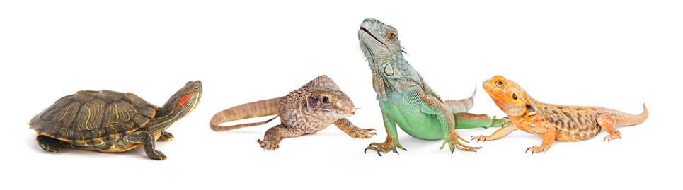 爬虫類(カメ・イグアナ)の保険
